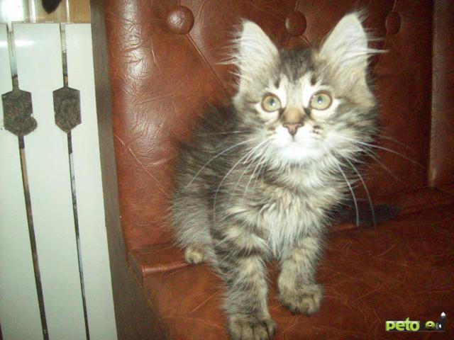 Отдам в дар: Очаровательный котенок в добрые руки фото3