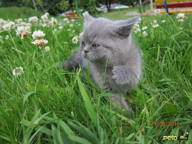 Продаю: Британские котята фото4