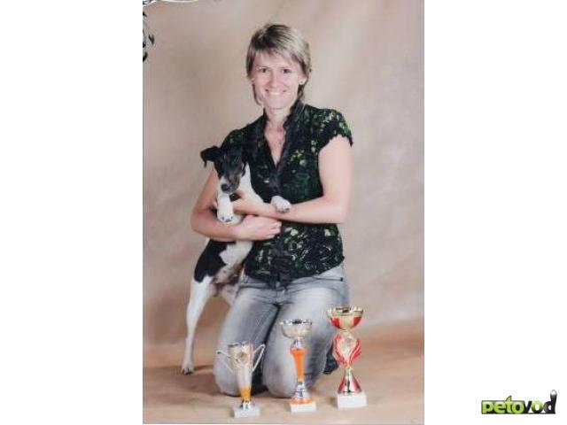 Продаю: Гладкошерстный фокстерьер щенки фото2