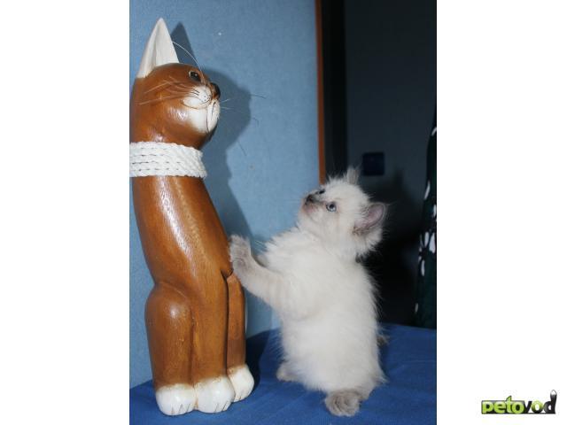 Продаю: Невские маскарадные котята фото3