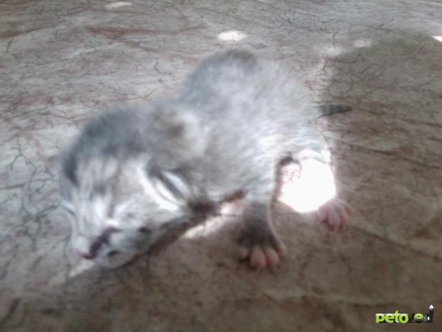 Отдам в дар: Котята и кошечка в дар фото3