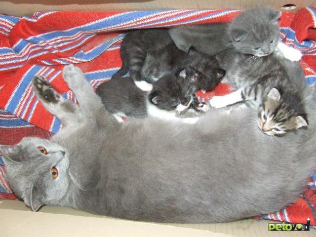 Отдам в дар: Котята от британской кошки - метисы фото2
