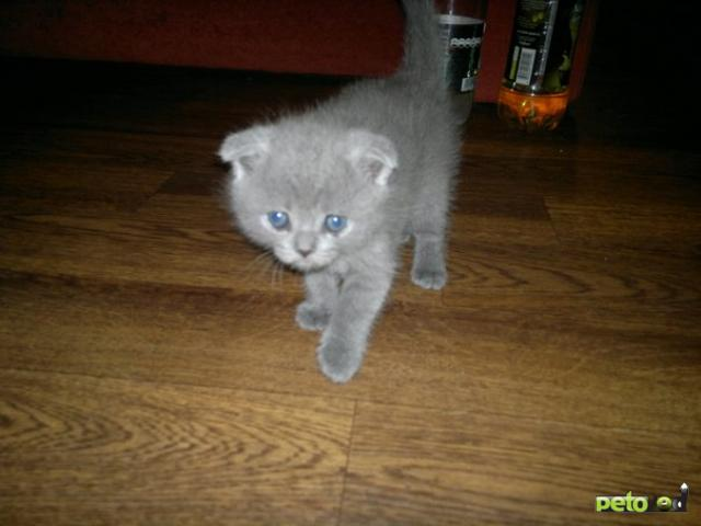 Продаю:  вислоухих шотландских котят гЧехов фото3