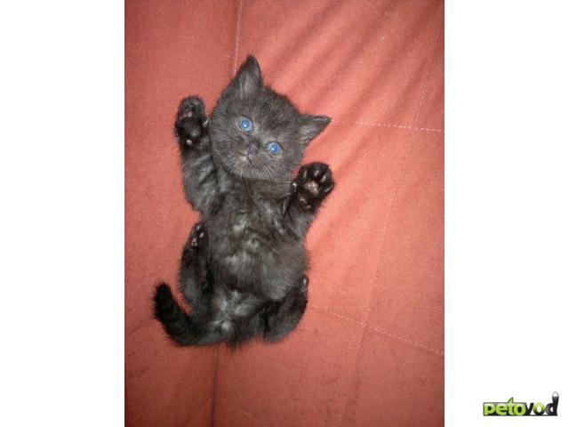 Продаю:  вислоухих шотландских котят гЧехов фото2