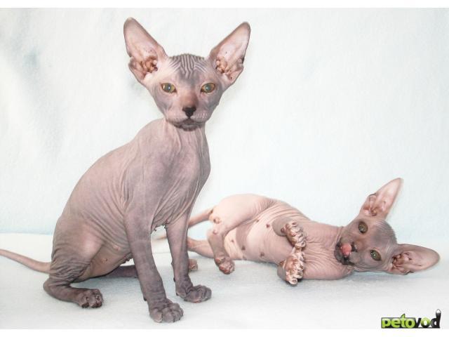 Продаю: Украинский левкой - голые котята фото2