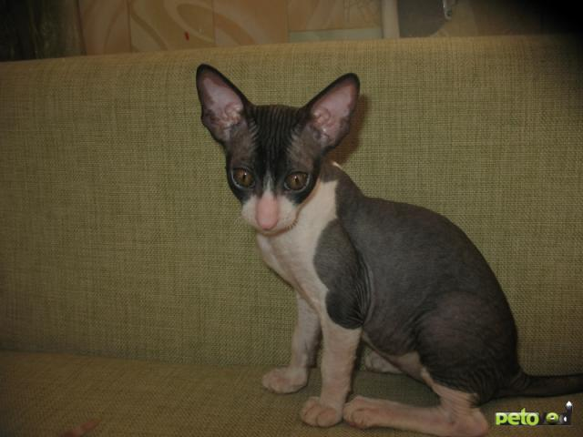 Продаю: Котята породы корниш-рекс фото3