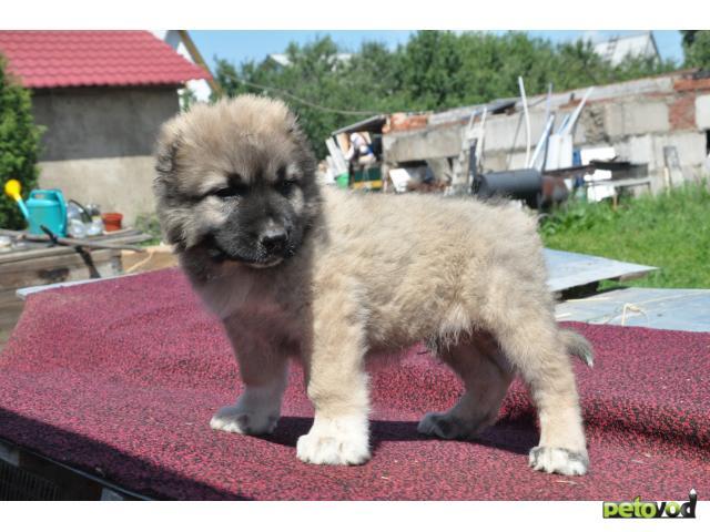 Продаю: тся щенки Кавказской овчарки  фото3