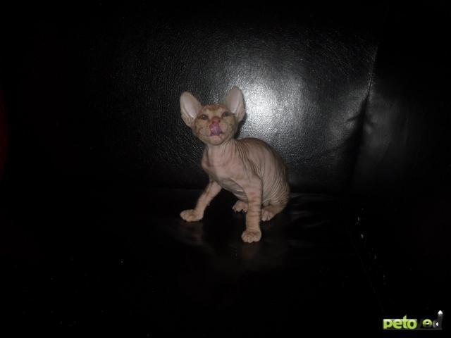 Продаю: Котята донского сфинкса фото2