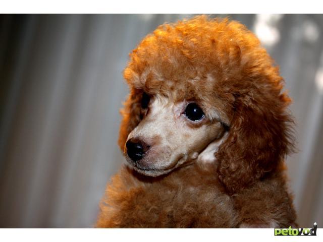Продаю:  щенка той-пуделя фото2