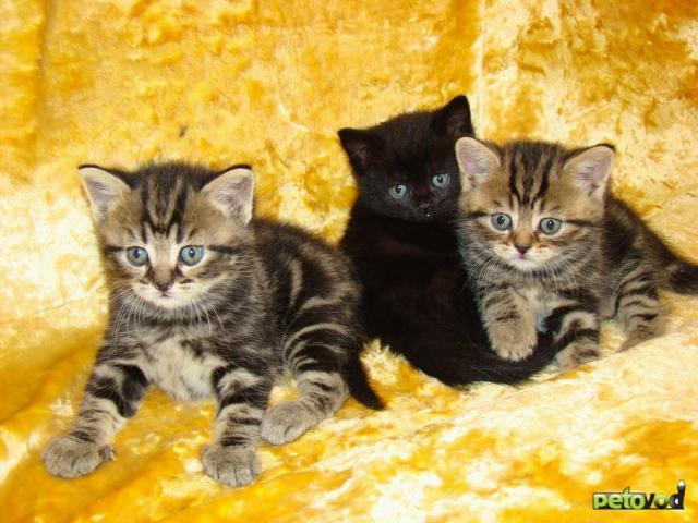 Продаю: Выбирайте котёнка британца фото2