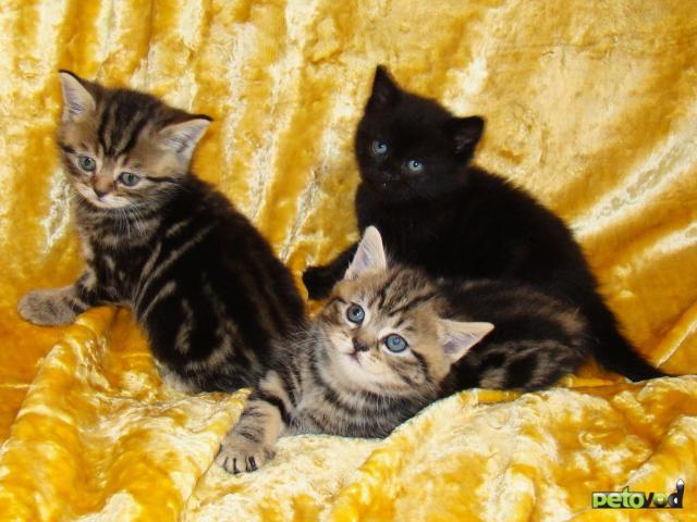 Продаю: Выбирайте котёнка британца фото3