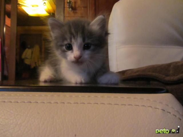 Отдам в дар: Трехцветные и серые котята в дар фото2