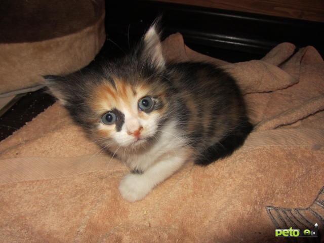 Отдам в дар: Трехцветные и серые котята в дар фото3