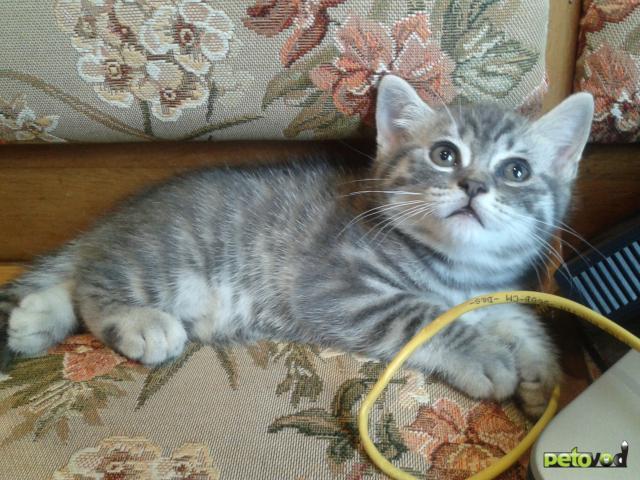 Продаю: Британский короткошерстный котик фото3