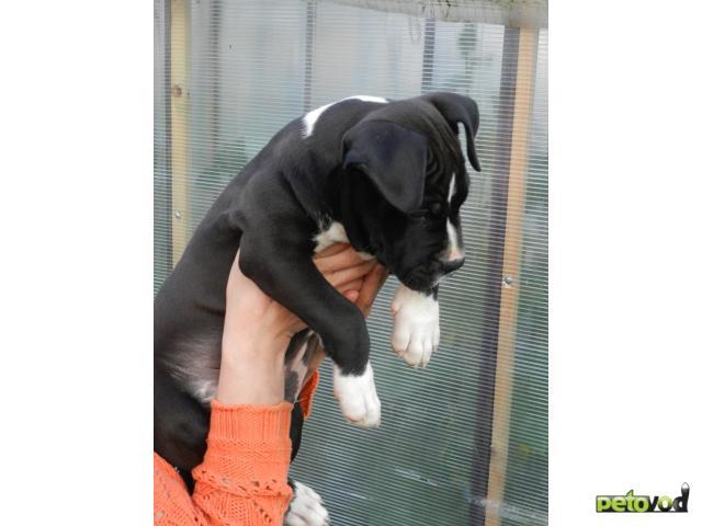 Продаю:  щенка амстаффа фото2