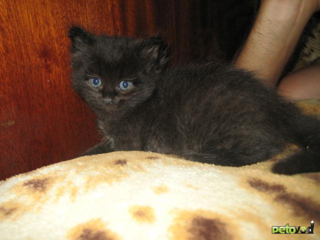Продаю: Персидские котята фото3