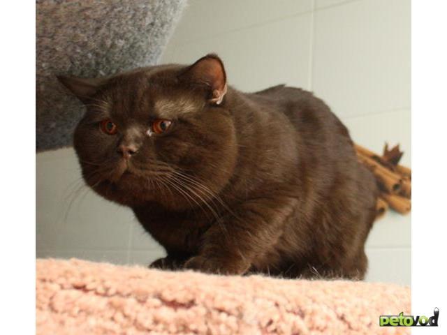 Продаю: Отдам британского кастрированного кота, 1,5 года  фото2