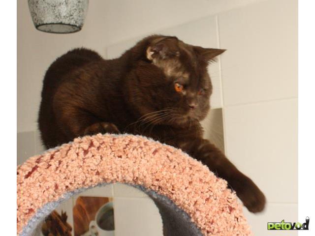 Продаю: Отдам британского кастрированного кота, 1,5 года  фото3