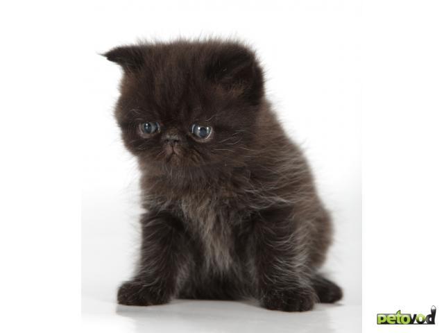 Продаю: Черный кот (экзот) приносит в дом удачу фото3