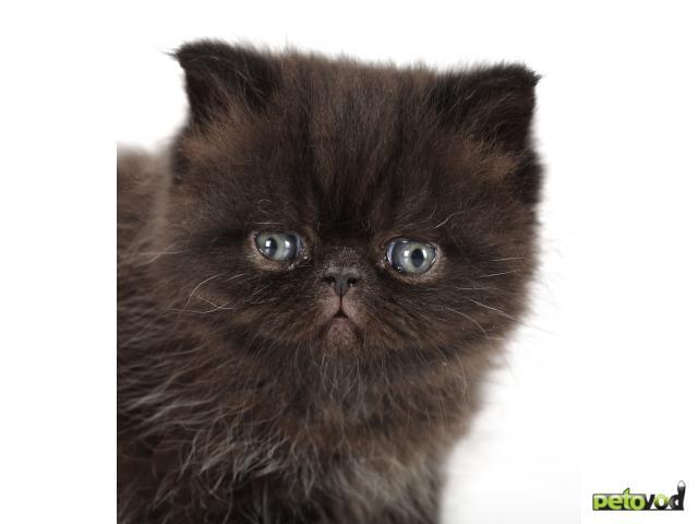 Продаю: Черный кот (экзот) приносит в дом удачу фото2