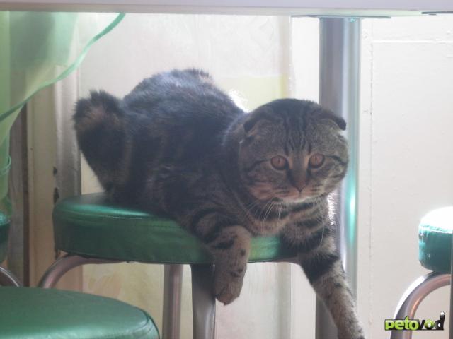 Вязка: Скоттиш-фолд кот приглашает на вязку фото3
