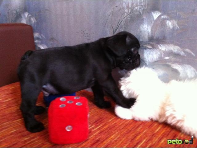 Продаю: Шикарные щенки французского бульдога фото2
