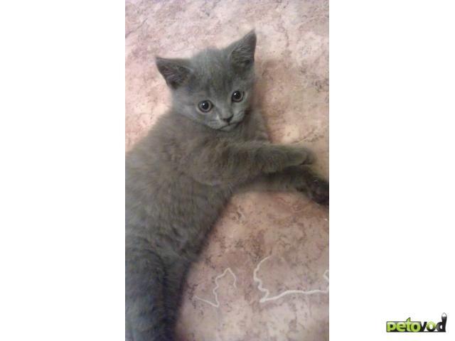 Продаю: Котята скоттиш страйт и шотландские вислоухие фото2