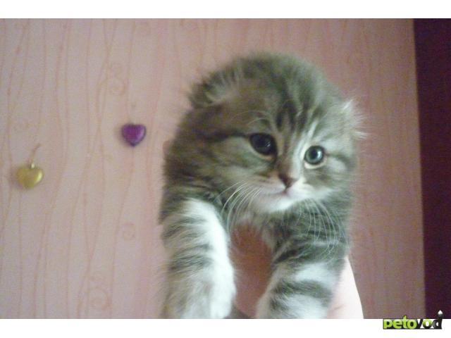 Продаю: Шотландские фолд и хайленд фолд котята фото2