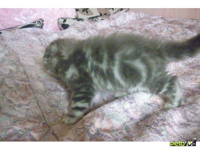 Продаю: Шотландские фолд и хайленд фолд котята фото3