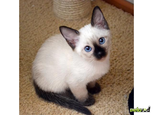 Продаю: Тайские котята в Краснодаре фото2