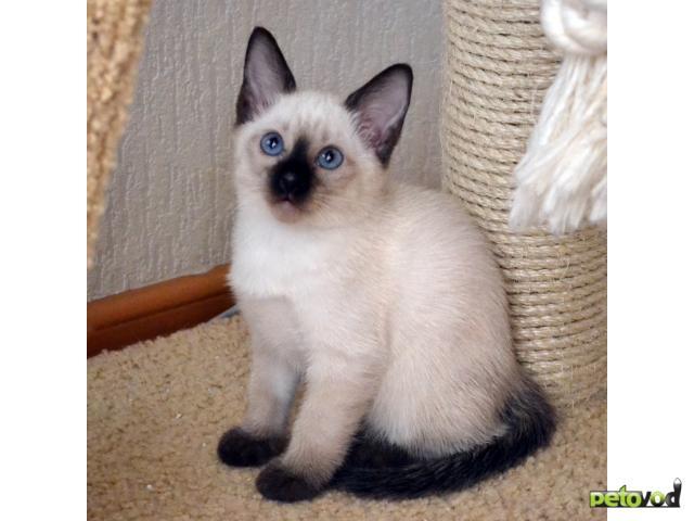 Продаю: Тайские котята в Краснодаре фото3