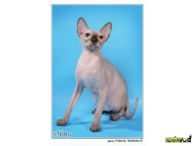 Продаю: Котята канадского сфинкса фото4