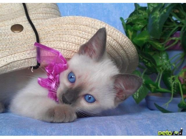 Продаю: Продается очень красивый тайский котик фото2