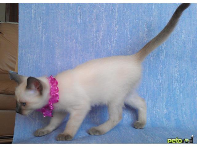 Продаю: Продается очень красивый тайский котик фото3
