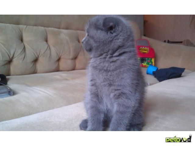 Продаю: Котенок скотиш фолд шоу класс фото3