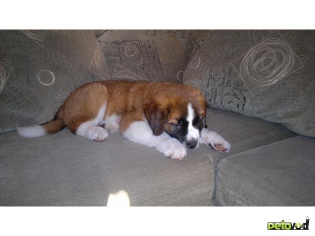 Продаю: Продается щенок сенбернара фото3