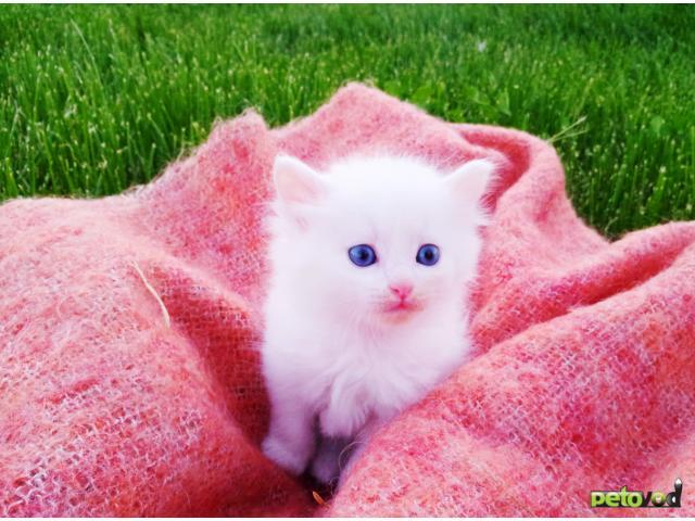 Продаю: Прекрасные котята элитной породы Турецкая Аногора фото2