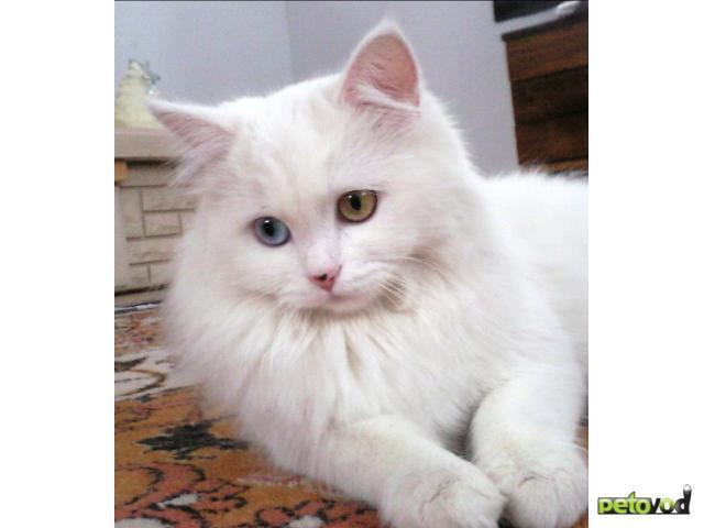 Продаю: Прекрасные котята элитной породы Турецкая Аногора фото3