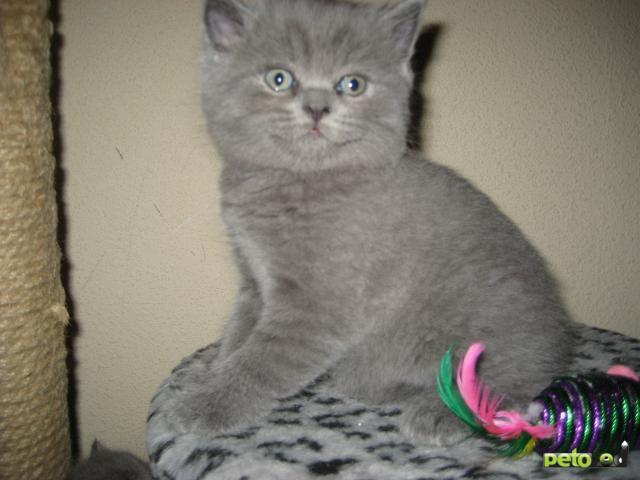 Продаю: Британские короткошёрстные котята фото2