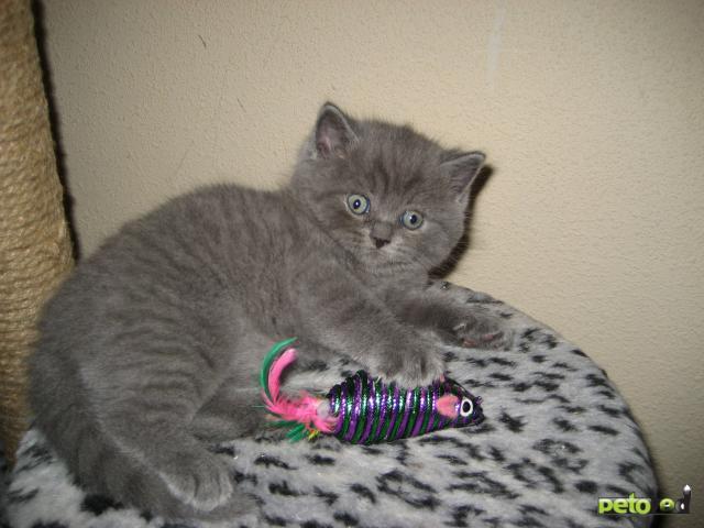 Продаю: Британские короткошёрстные котята фото3