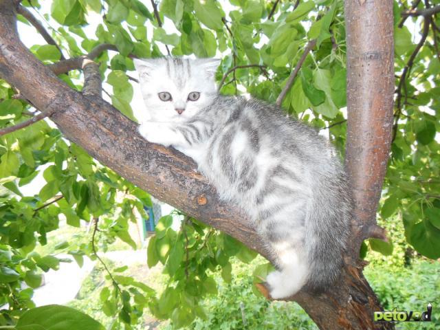 Продаю: Супер тяжеловесы - британские котята фото2