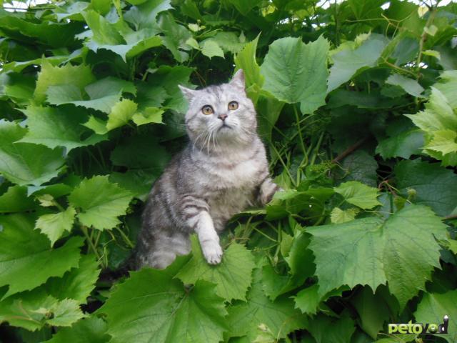 Продаю: Супер тяжеловесы - британские котята фото3