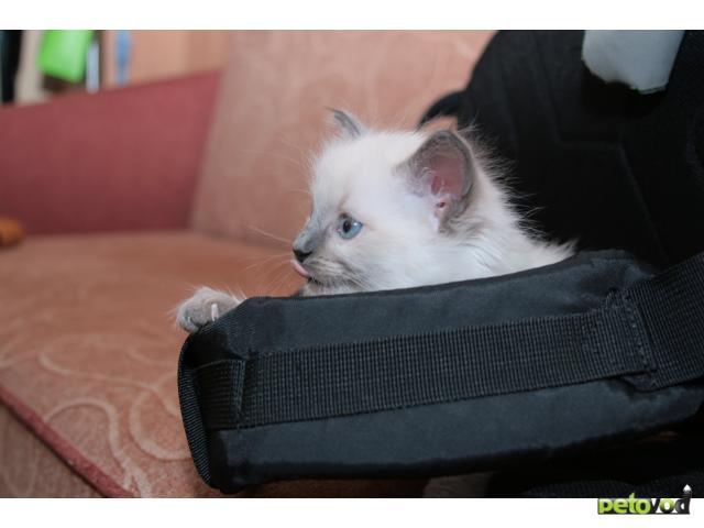 Продаю:  невских маскарадных котят фото2