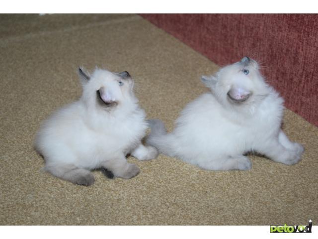 Продаю:  невских маскарадных котят фото3