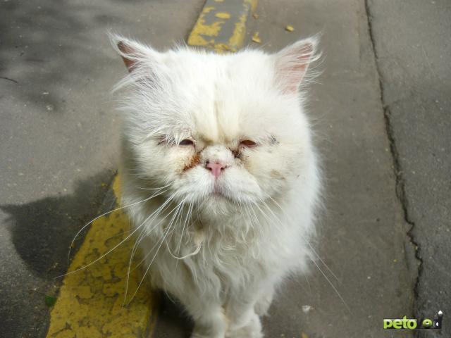 Отдам в дар: Персидский кот выброшен на улицу СРОЧНО  фото2