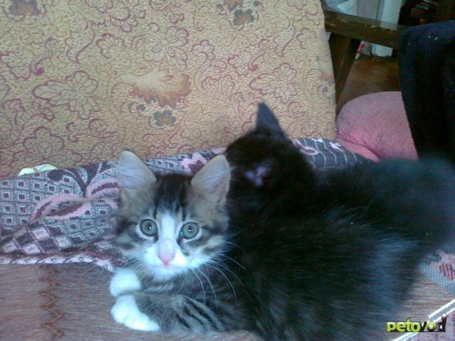 Отдам в дар: Котята хорошим людям фото2