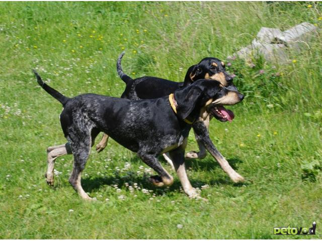 Продаю: Малая голубая гасконская гончая щенки фото2