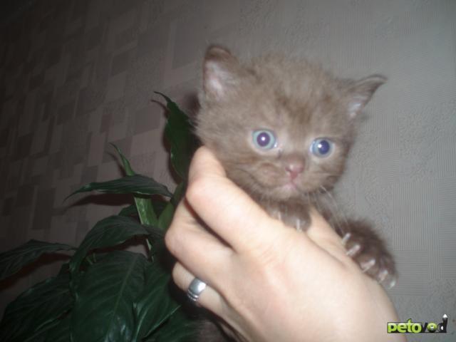 Продаю: Шотландские котята продаются фото2