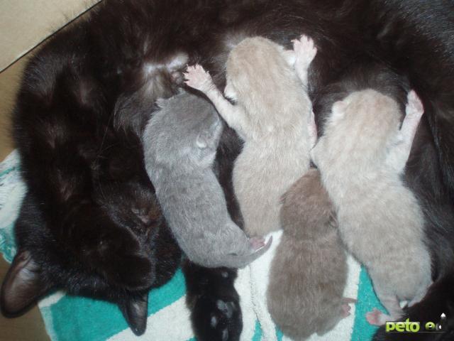 Продаю: Шотландские котята продаются фото3