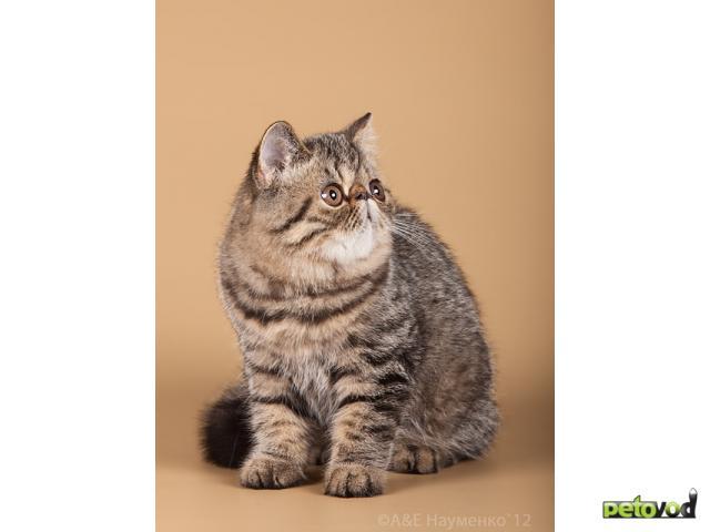 Продаю: Котята ЭКЗОТИЧЕСКИЕ к/ш фото2